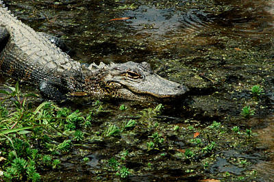 Photograph - American Alligator 2 by David Weeks