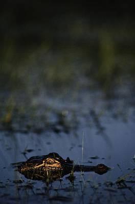 American Alligator Alligator Art Print by Raymond Gehman