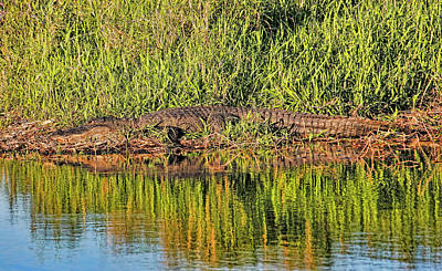 Photograph - American Alligator Basking In The Sun by HH Photography of Florida