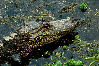 Photograph - American Alligator by David Weeks