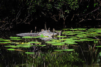 Photograph - American Alligator In South Walton Florida by Kurt Lischka