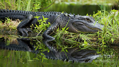 American Alligator In The Wild Print by Dustin K Ryan