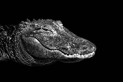 Nashville Photograph - American Alligator by Malcolm MacGregor