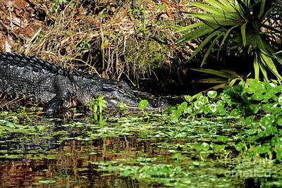 Photograph - American Alligator by Paul Mashburn