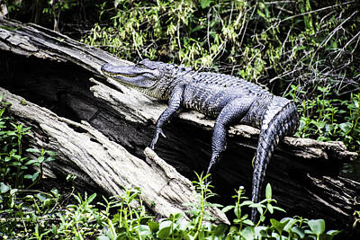 Photograph - American Alligator Resting On A Log by Printed Pixels