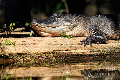 Animals Royalty-Free and Rights-Managed Images - American Alligator suns itself by Matt Suess