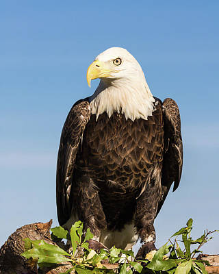 Photograph - American Ambassador by Dawn Currie