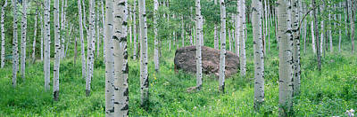 White River Scene Photograph - American Aspen Trees In The Forest by Panoramic Images