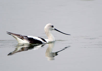 Photograph - American Avocet 2363-081018-1cr by Tam Ryan