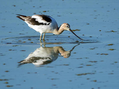 Photograph - American Avocet 4270-080917-1cr by Tam Ryan