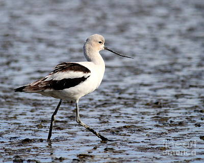 Bif Photograph - American Avocet . 7d4836 by Wingsdomain Art and Photography