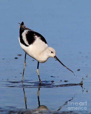 Bif Photograph - American Avocet . 7d4873 by Wingsdomain Art and Photography
