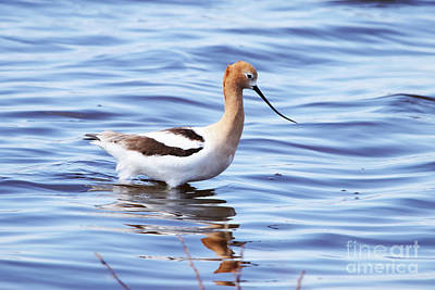 Photograph - American Avocet by Alyce Taylor