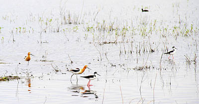 Photograph - American Avocet And Black Necked Stilt by Ed  Riche