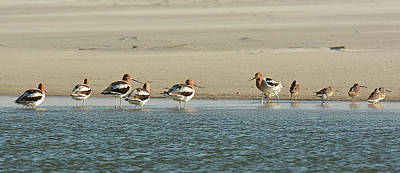 Photograph - American Avocet And Short-billed Dowitcher by Alan Lenk