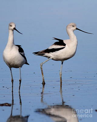 Bif Photograph - American Avocet Ballet . 7d4857 by Wingsdomain Art and Photography