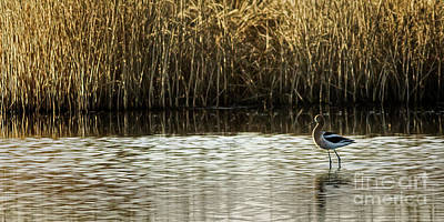 Photograph - American Avocet by Brad Allen Fine Art