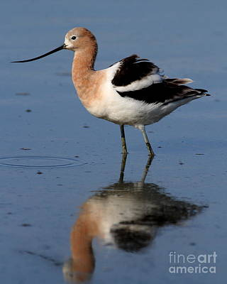 Bif Photograph - American Avocet . Breeding Plumage . 7d4946 by Wingsdomain Art and Photography