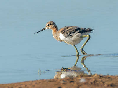 Photograph - American Avocet Chick 1086-051518-1cr by Tam Ryan