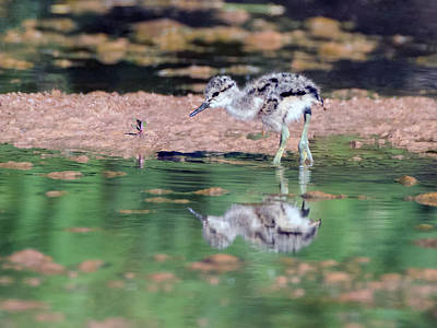 Photograph - American Avocet Chick 1440-052218-1cr by Tam Ryan