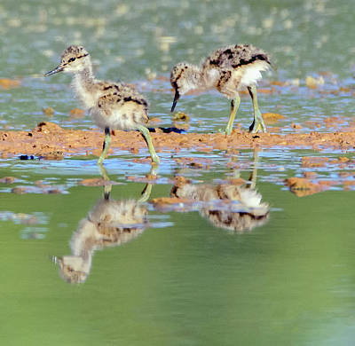 Photograph - American Avocet Chicks 1439-052218-1cr by Tam Ryan