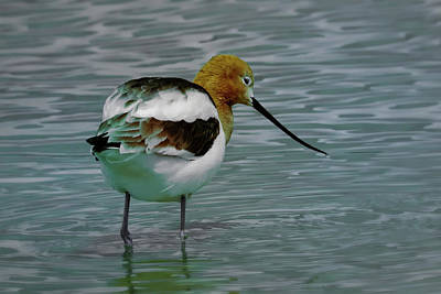 Photograph - American Avocet by Craig Strand