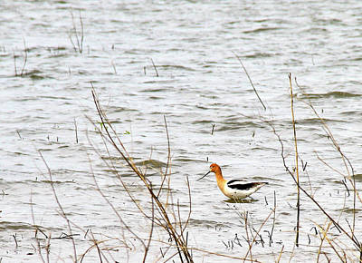 Photograph - American Avocet by Ed  Riche