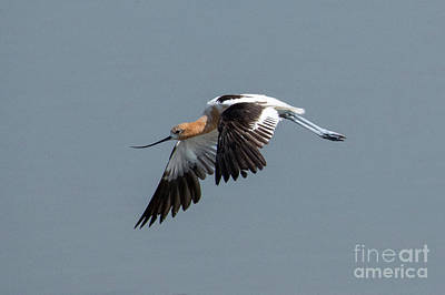 Photograph - American Avocet Flight by Mike Dawson