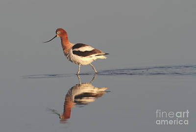 Gold Photograph - American Avocet by Gary Wing