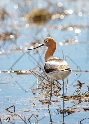 Photograph - American Avocet by Michael Chatt
