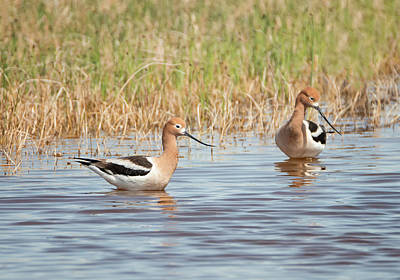 Photograph - American Avocet Pair by Loree Johnson