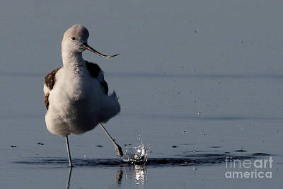 Photograph - American Avocet Splash by Meg Rousher