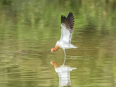 Photograph - American Avocet Stretching by Tam Ryan