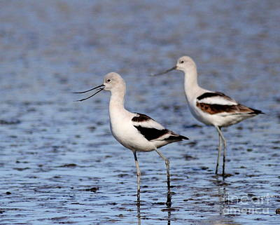 Bif Photograph - American Avocets . 4815 by Wingsdomain Art and Photography