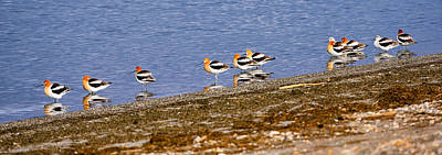 Photograph - American Avocets by Greg Norrell