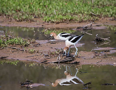 Photograph - American Avocets-img_490518 by Rosemary Woods-Desert Rose Images