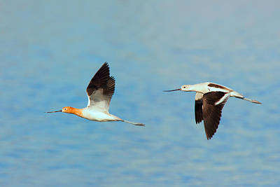 Photograph - American Avocets In Flight by Ram Vasudev