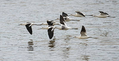 Photograph - American Avocets by Loree Johnson