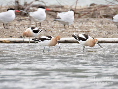 Photograph - American Avocets  by Ricky L Jones