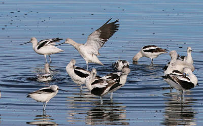 Photograph - American Avocet's Taking A Break by Dorothy Cunningham