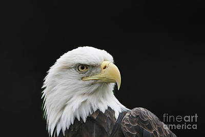 Photograph - American Bald Eagle #2 by Judy Whitton