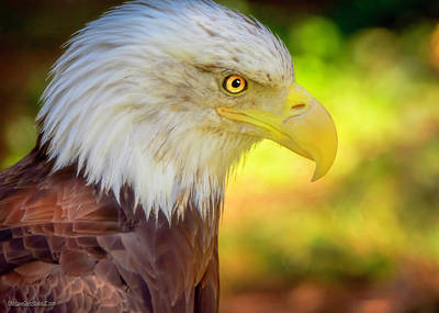 Photograph - American Bald Eagle Colors by LeeAnn McLaneGoetz McLaneGoetzStudioLLCcom