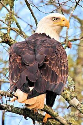 Photograph - American Bald Eagle by Debbie Stahre
