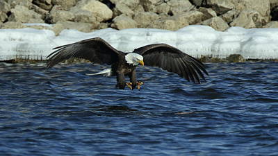 Photograph - American Bald Eagle Fishing On The Mississippi by Coby Cooper