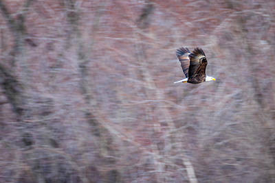 Photograph - American Bald Eagle Flight by Patti Deters
