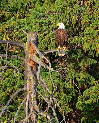 Photograph - American Bald Eagle by Greg Norrell