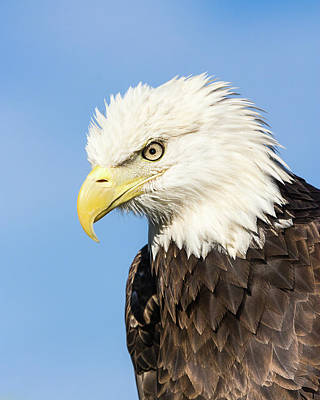 Photograph - American Bald Eagle I by Dawn Currie