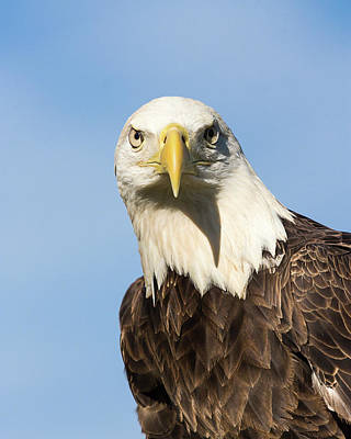 Photograph - American Bald Eagle II by Dawn Currie