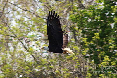 Photograph - American Bald Eagle In Flight Over The Quinnebaug River  by Neal Eslinger