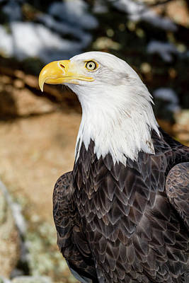 Photograph - American Bald Eagle In Winter by Teri Virbickis